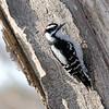 January 20 2021 - Downy Woodpecker