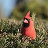 January 29 2021 - Northern Cardinal