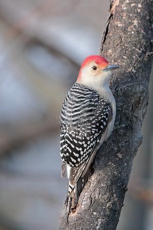 January 31 2021 - Red Bellied Woodpecker