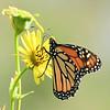 July 26 2021 - Monarch Butterfly