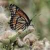 July 28 2021 - Monarch Butterfly