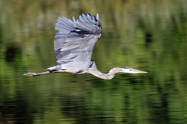 JUly 31 2021 - Great Blue Heron