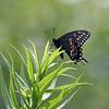 July 21 2021 - Black Swallowtail Butterfly