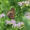 July 22 2021 - Fritillary Butterfly