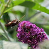 July 29 2021 - Hummingbird Moth