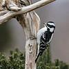 July 25 2021 - Downy Woodpecker