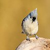 July 23 2021 - Tufted Titmouse