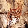 July 20 2021 - Screech Owl