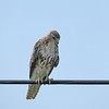 July 30 2021 - Red-Tailed Hawk