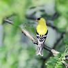 JUne 21 2021 - Goldfinch