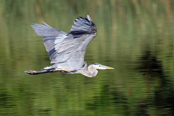 June 30 2021 - Great Blue Heron