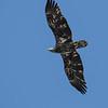 June 14 2021 - Immature Bald Eagle
