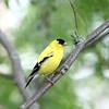 June 12 2021 - Goldfinch