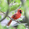 June 3 2021 - Northern Cardinal