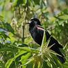 June 5 2021 - Red Winged Blackbird