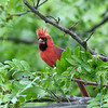 June 11 2021 - Northern Cardinal