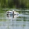 June 9 2021 - Mute Swan