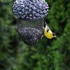 June 6 2021 - Goldfinch (Male)