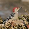 June 23 2021 - Red Bellied Woodpecker