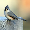 March 22 2021 - Tufted Titmouse
