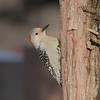 March 30 2021 - Red Bellied Woodpecker