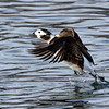 March 20 2021 - Long-Tailed Duck