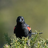 March 21 2021 - Red-Winged Blackbird