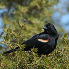 March 27 2021 - Red-winged Blackbird