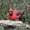 March 26 2021 - Northern Cardinal