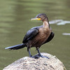March 29 2021 - Cormorant