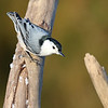March 25 2021 - Nuthatch