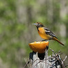 May 23 2021 - Baltimore Oriole