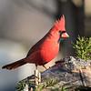 May 30 2021 - Northern Cardinal