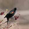 May 5 2021 - Red WInged Blackbird