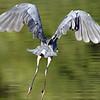 May 21 2021 - Great Blue Heron