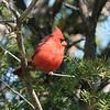 May 3 2021 - Northern Cardinal