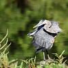 May 10 2021 - Great Blue Heron