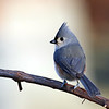 May 7 2021 - Tufted Titmouse