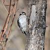 May 24 2021 - Downy Woodpecker