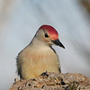 May 22 2021 - Red Bellied Woodpecker