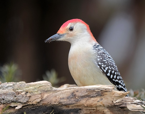 May 11 2021 - Red Bellied Woodpecker