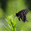 October 16 2021 - Black Swallowtail Butterfly