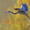 October 20 2021 - Great Blue Heron