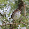 October 21 2021 - White Throated Sparrow