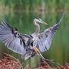 October 26 2021 - Great Blue Heron