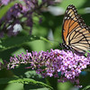 October 17 2021 - Viceroy Butterfly