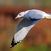 October 15 2021 - Ring Billed Gull