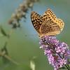 September 7 2021 - Fritillary Butterfly