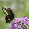 September 10 2021 - Swallowtail Butterfly
