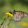 September 9 2021 - Monarch Butterfly